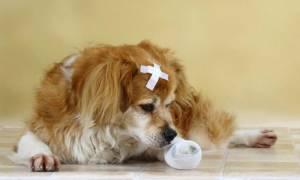 Антибиотики для собак при гнойных ранах